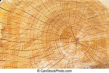 wood texture of cutted tree trunk