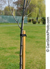 wood use as tree supporter to against wind, tree is related to that stick with ribbon