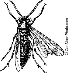 Wood wasp, vintage engraving.