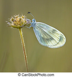 Wood white butterfly - Wood white (Leptidea sinapis) is a...