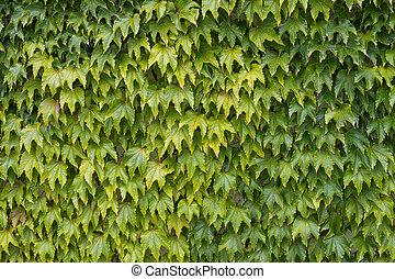 Woodbine aka Japanese ivy, climbing vine. - Parthenocissus...