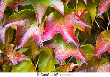 Woodbine - five finger - Autumn leaves of a sucker, woodbine...
