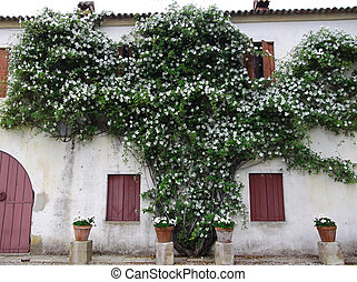 Woodbine wild roses on the wall of an old house