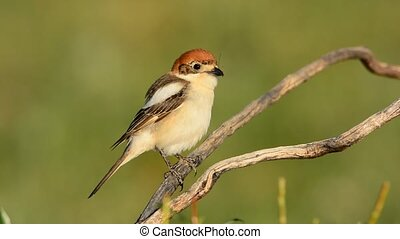 Woodchat shrike perched on a branch with green background.