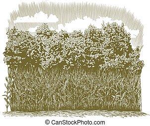 woodcut, maíz, plantas