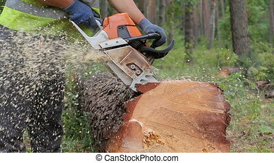 Woodcutter cuts tree trunk using chainsaw before...