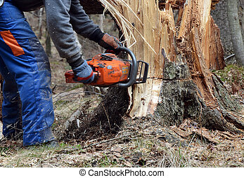 Woodcutter cutting broken tree close to ground in the forest.