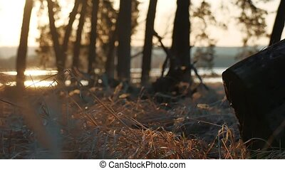 Wooded Pine forest dry landscape grass stump silhouette...