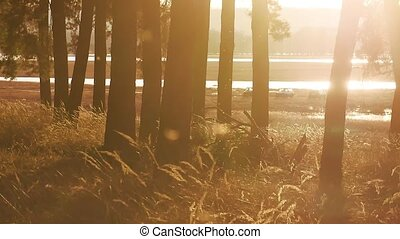 Wooded Pine forest landscape dry grass stump silhouette...