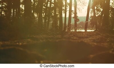 Wooded Pine forest silhouette landscape trees backlit by...