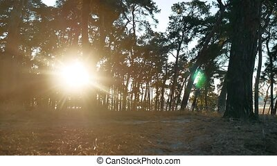 Wooded Pine forest silhouette lifestyle trees backlit by...