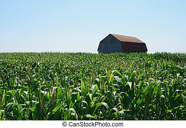 Wooden barn in green cornfield