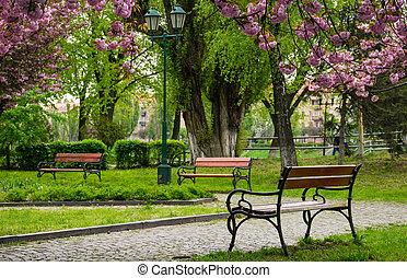 wooden benches under sakura trees. beautiful cherry blossom...