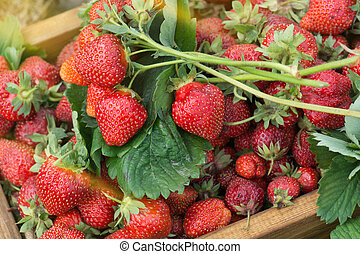 Wooden box with red strawberries near the bush. Organic ripe strawberries in a wooden basket