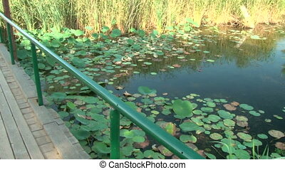 Wooden bridge and pond with lilies