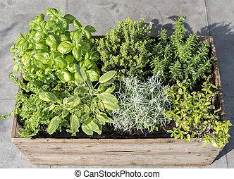 wooden container with fresh herbs menthe mentha pulegium, ...