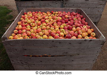Wooden crates of apples - These large wooden crates hold...