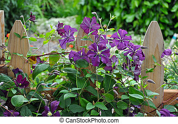 Wooden fence and clematis