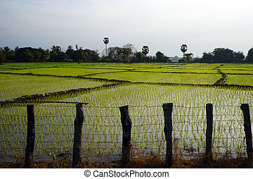 Wooden fence and rice field