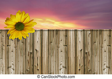 Wooden fence - Bright yellow sunflower in bloom with wooden ...