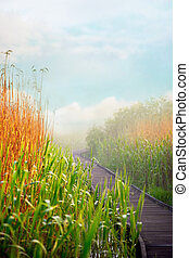 wooden pedestrian walkway in swamp with reeds in foggy morning