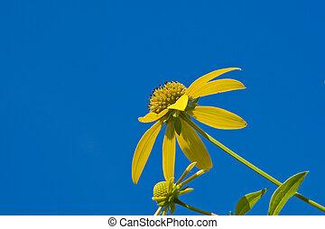 Woodlan rough sunflower