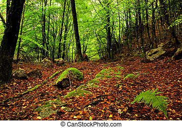 Beautifful forest with high trees and the ground covered with leafs
