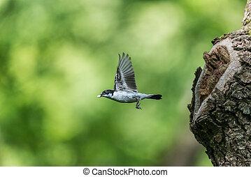 Woodland bird flying. Male pied flycatcher (Ficedula...