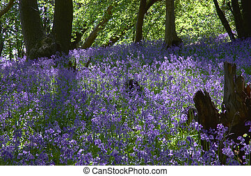 Woodland Bluebells - a carpet of springtime bluebells in a...