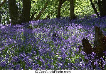 Woodland Bluebells - a carpet of springtime bluebells in a...