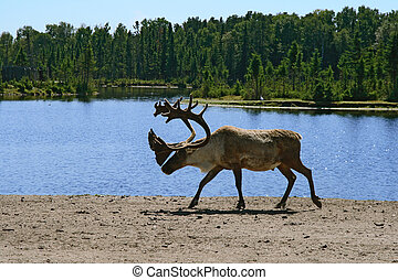 Woodland caribou walking near lake water.