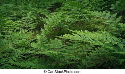 Woodland Ferns In Gentle Breeze - Dense woodland ferns in...
