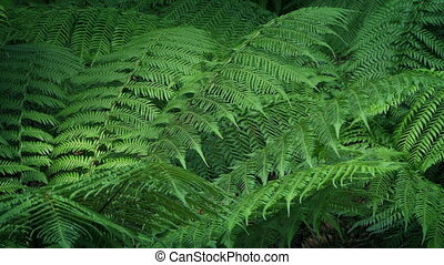 Woodland Ferns In Gentle Breeze - Many ferns in the forest...