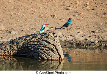 Woodland kingfisher sitting on stump in water