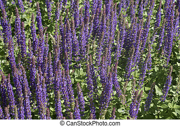 Woodland Sage - The photograph of a garden flower bed with...