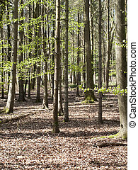 Woodland scene - Spring woodland scene with new growth on ...