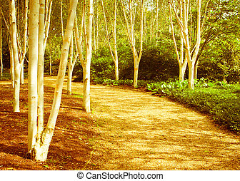 Woodland - Nice warm toned image of a silver birch forest in...