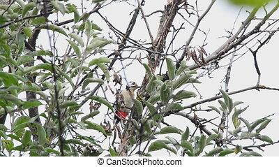 Woodpecker eats walnuts on a tree