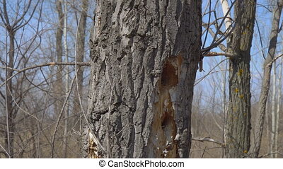 Woodpecker holes in dry tree