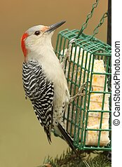 Woodpecker on a Feeder