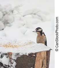 woodpecker on a feeding trough. winter