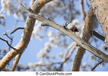 Woodpecker on a tree branch. Close-up.