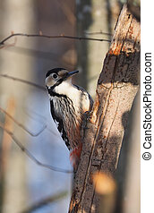 woodpecker on a tree trunk in the forest