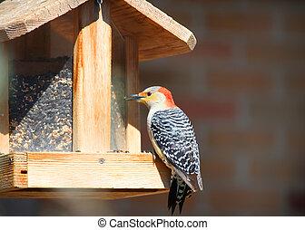 Red male woodpecker on bird feeder