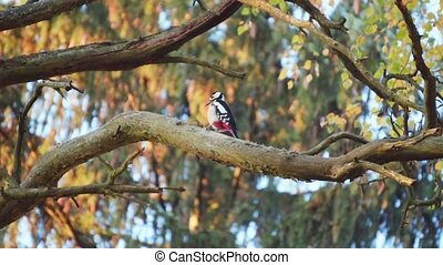 Woodpecker on the tree pulls out worms in slow motion