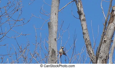 Woodpecker on the trunk of a dry tree