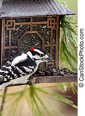 Woodpecker Perched on Feeder