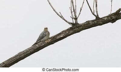 Woodpecker Resting On Branch