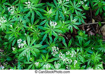 woodruff, flores blancas