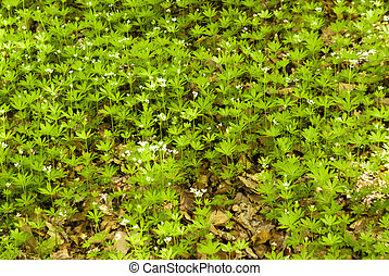 woodruff, floresta